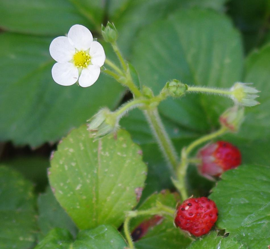 fragaria-chiloensis-berry